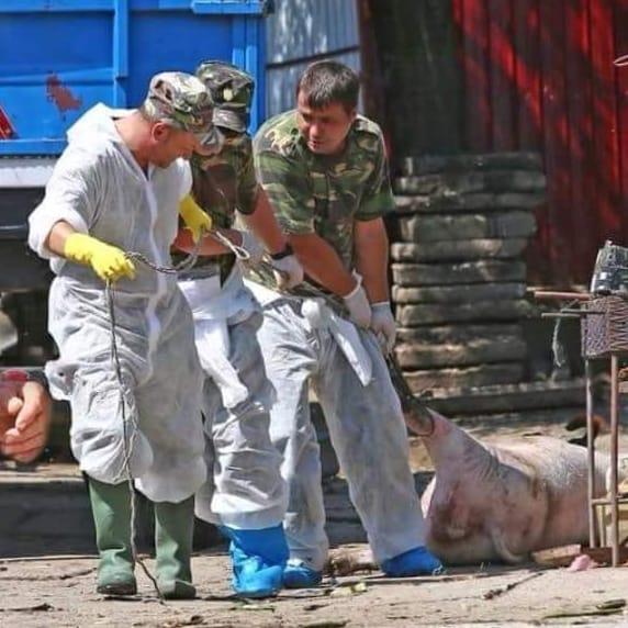 Pesta porcină africană, descoperită în zeci de gospodării din Buzău. Au fost ucise deja peste o sută de animale